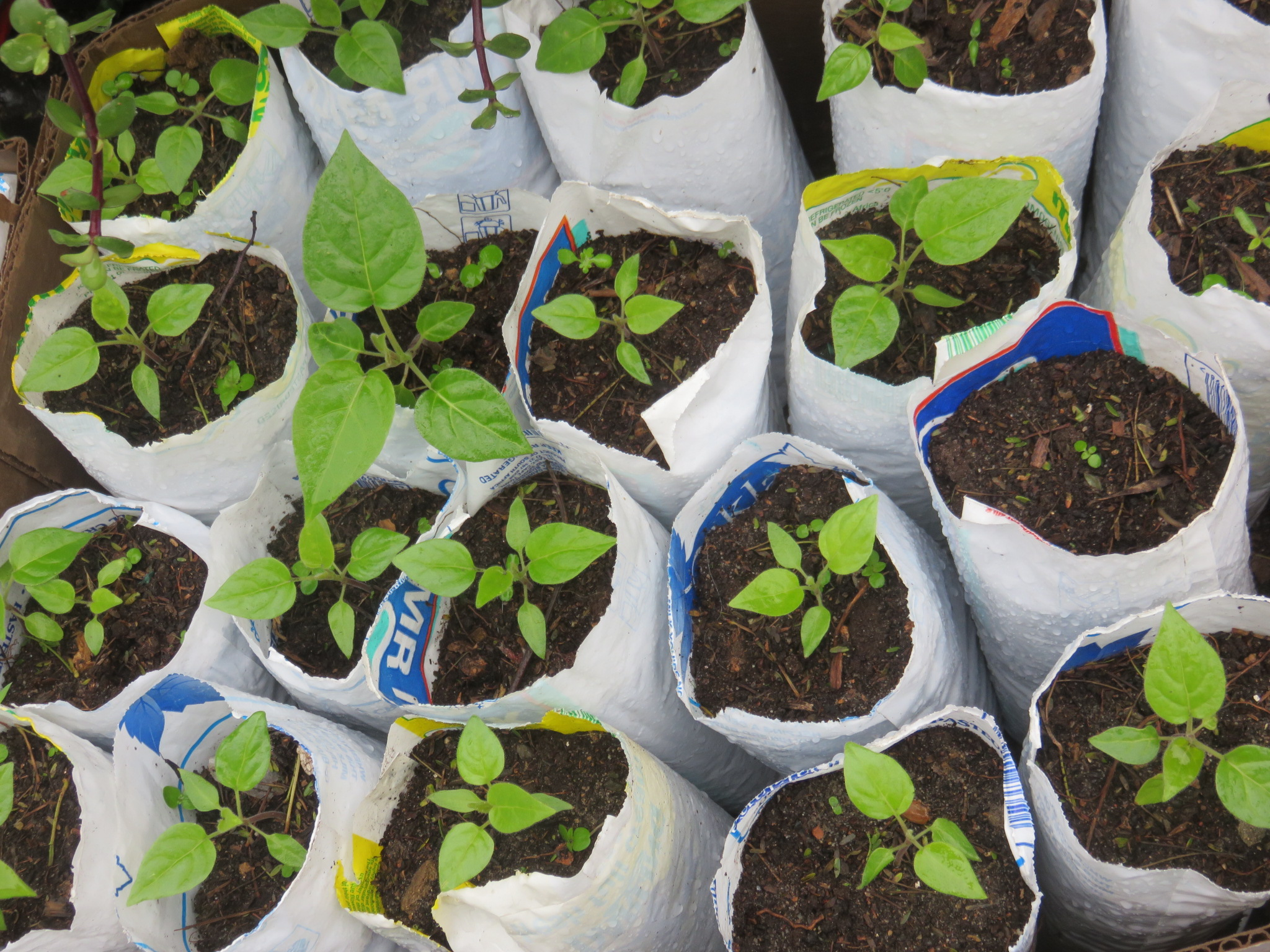 The next stage was to plant the seedlings individually in recycled milk bags. After this they were planted out in the garden.