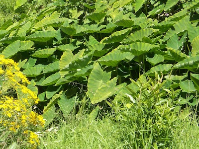What looks like Taro, flourishing in the stream behind Groot Constantia in Cape Town