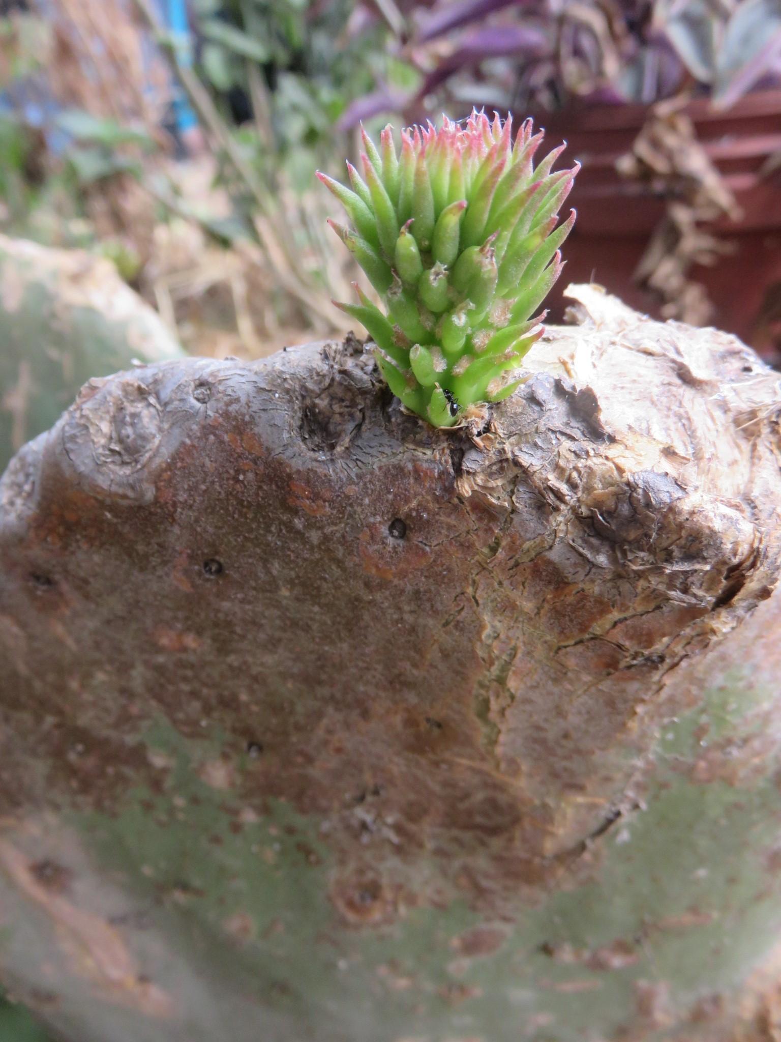 a spiky flower like nopal bud