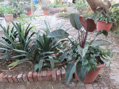shady water-wise shade champions: paving, pots, clivias