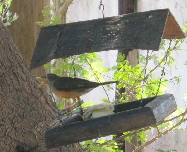 our thrush feeding from the bird tray, not scratching up my seedlings