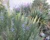 Mediterranean herb garden mix