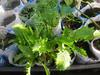 Seedlings growing in our recycled milk sachets