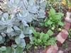 mustard and succulents happy together in my water-wise permaculture garden