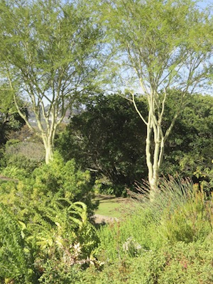 tall thin fever trees can supply moving shade