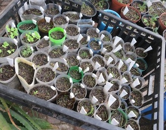 a seed sowing system of tubes cut from old bottles and closed underneath with crumpled newspaper