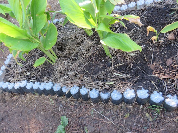 The dark black soil and passive irrigation in tumeric patch