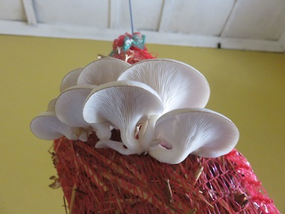 Mushrooms growing on straw in the bathroom