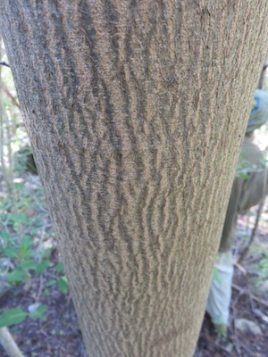 Sometimes the trees leaves are to high to use for identification and the bark is a good substitute. The bark of Vergilia divaricata.