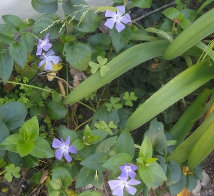 The ubiquitous perennial vinca