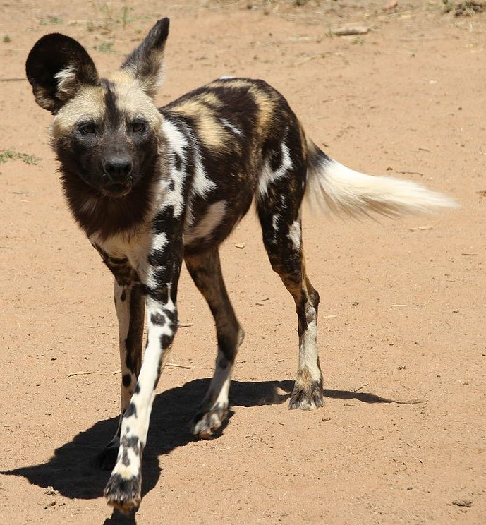 The West African wild dog may be the only true subspecies.