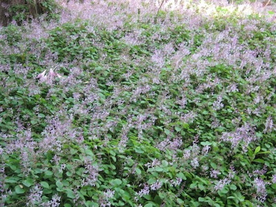 a shade loving living mulch is also an organic mulch with benefits