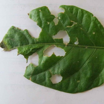 This bug has a taste for the hottest chili in the world, the Carolina Reaper