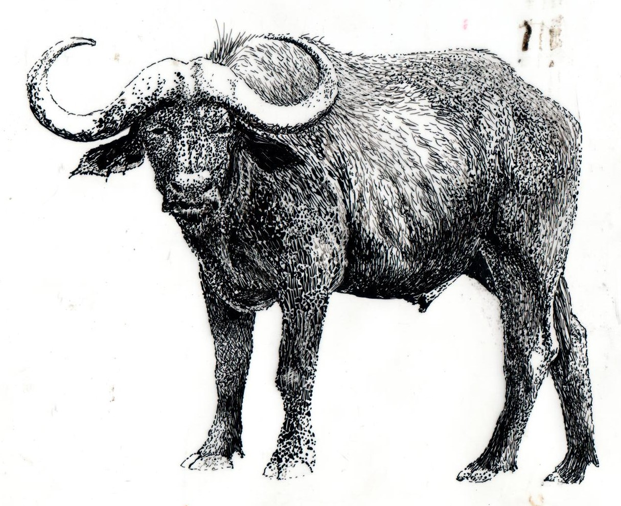 A pen drawing of a buffalo which is used for a screen print positive