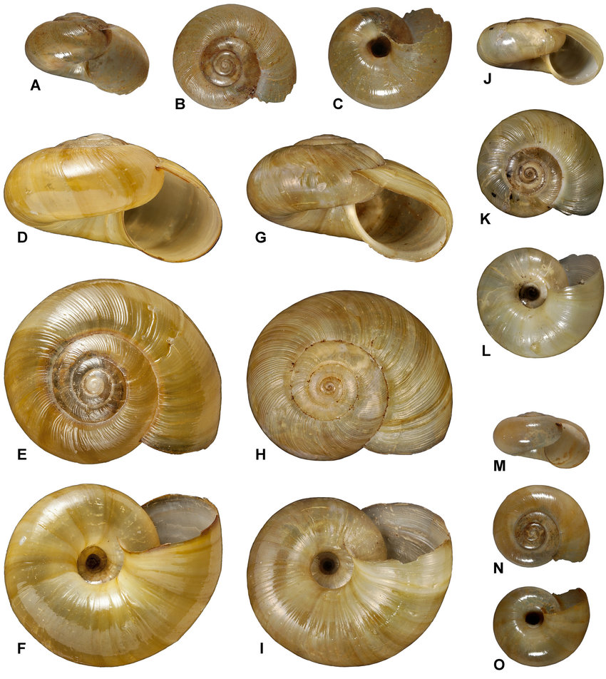 Nata vernicosa, another carnivorous snail
