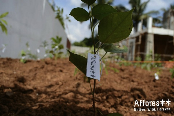 Saplings in a newly planted urban afforestation lot