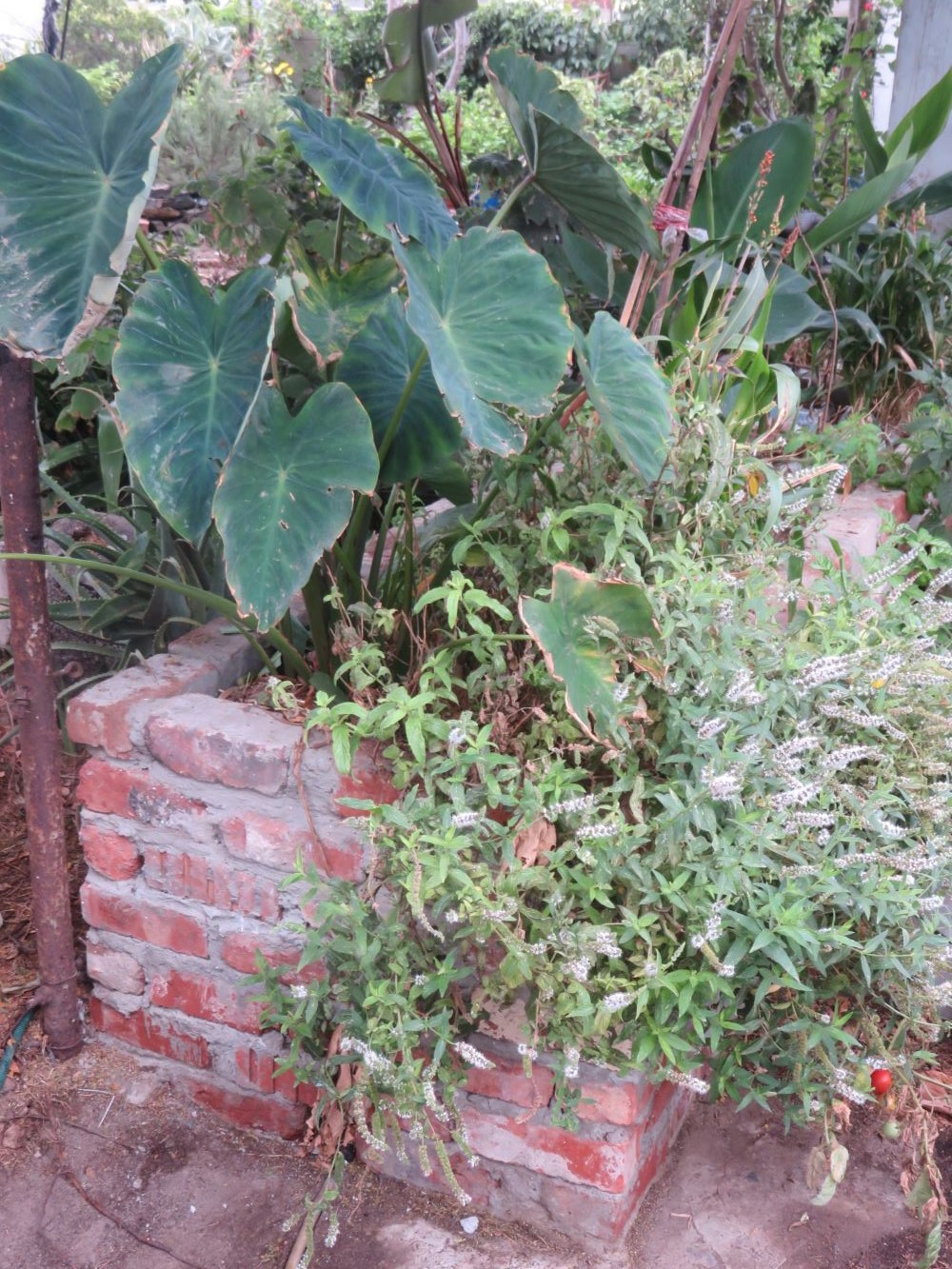 The taro in summer with lots of large leaves, a little wind burned. It is growing in bio filters which clean kitchen grey water.