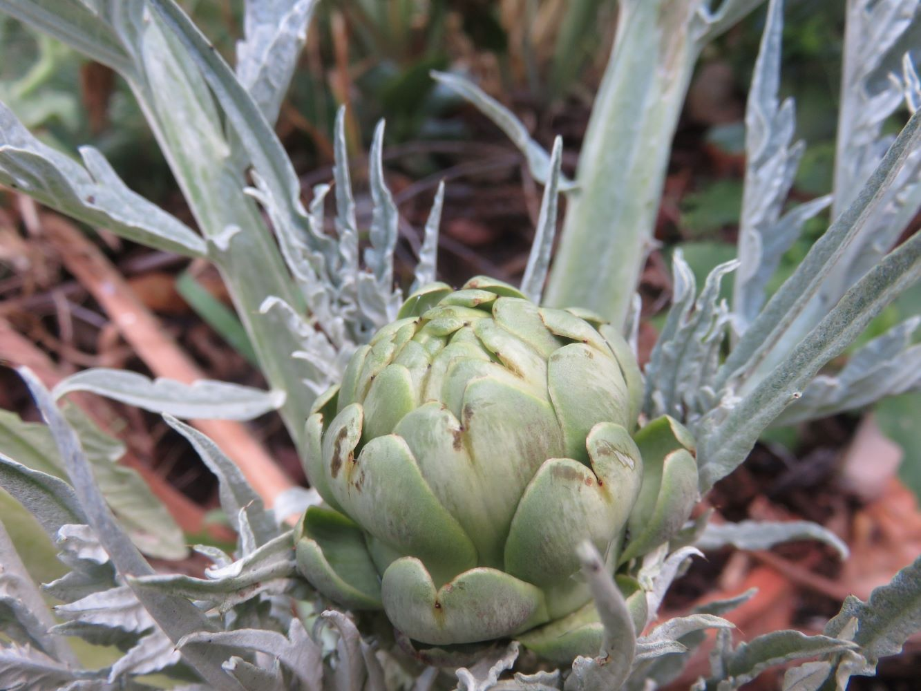 globe artichoke leaves are beautiful when healthy