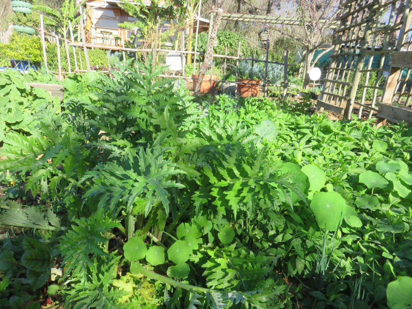 Growing in the best possible soil, partly shaded, the plant is very green, with no buds.