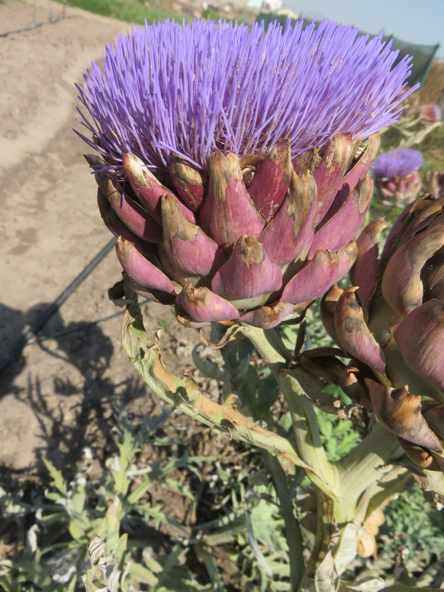 An artichoke in full flower can no longer be eaten, but will nice fresh seed. Its similarity to a thistle can be seen easily.