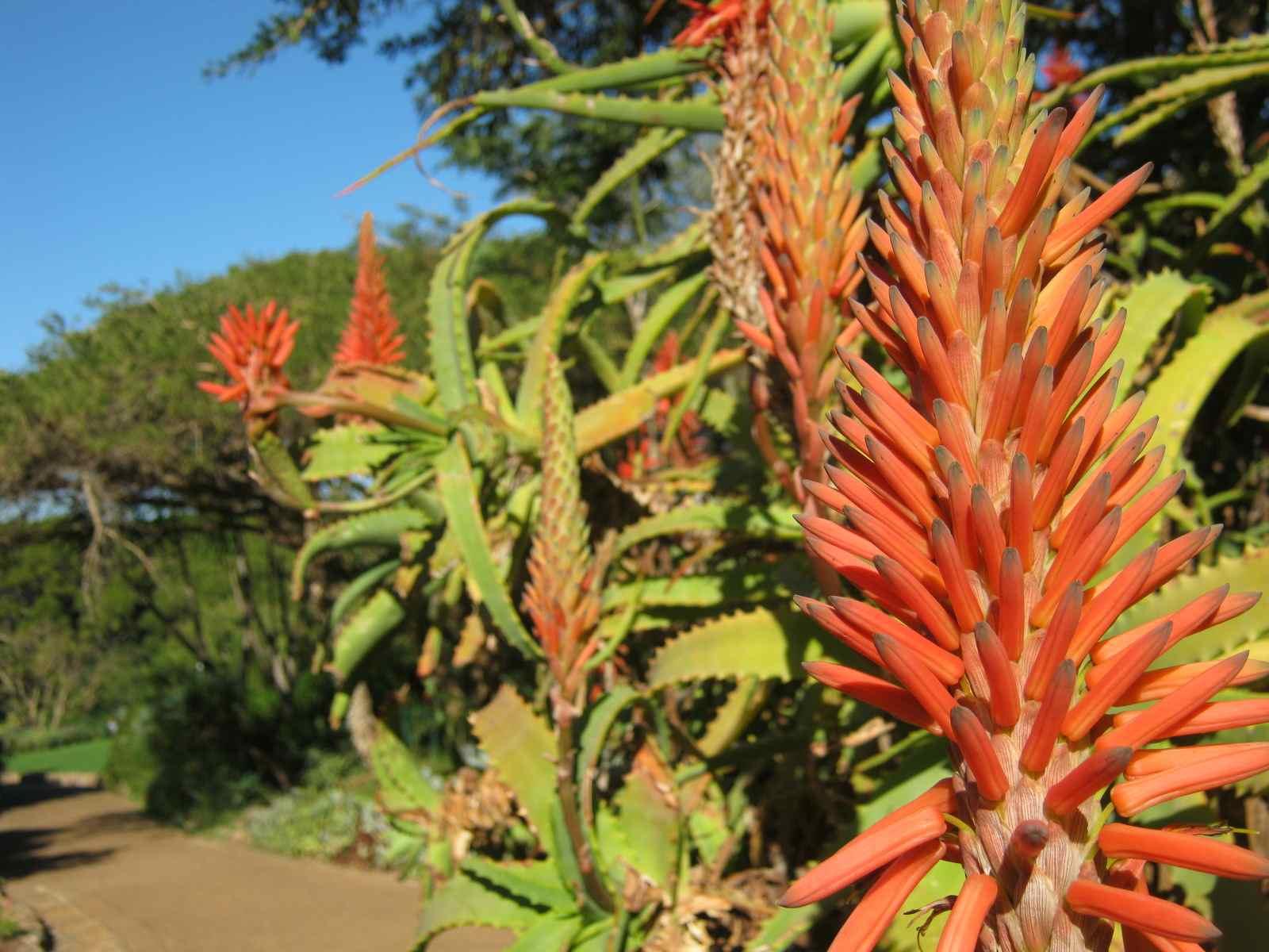 Aloe arboresens tolerates semi shade but loves heat and light