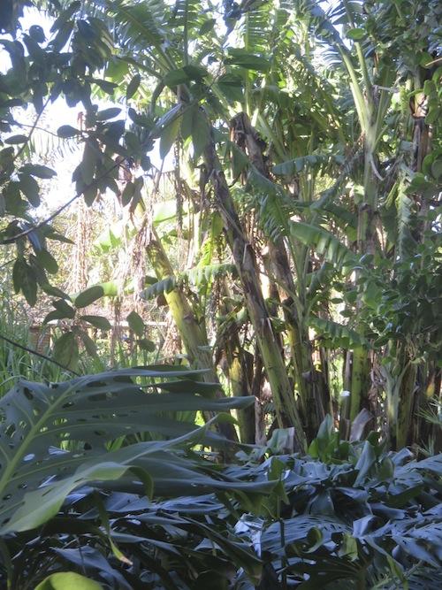 exotic vegetation thrives in a massive banana grove