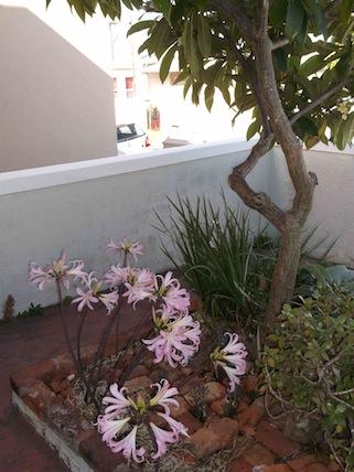 Amaryllis belladonna