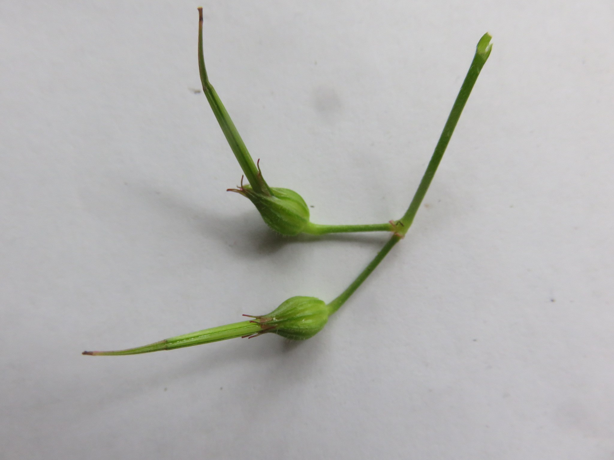 the seeds of many related plants called name crane's bill