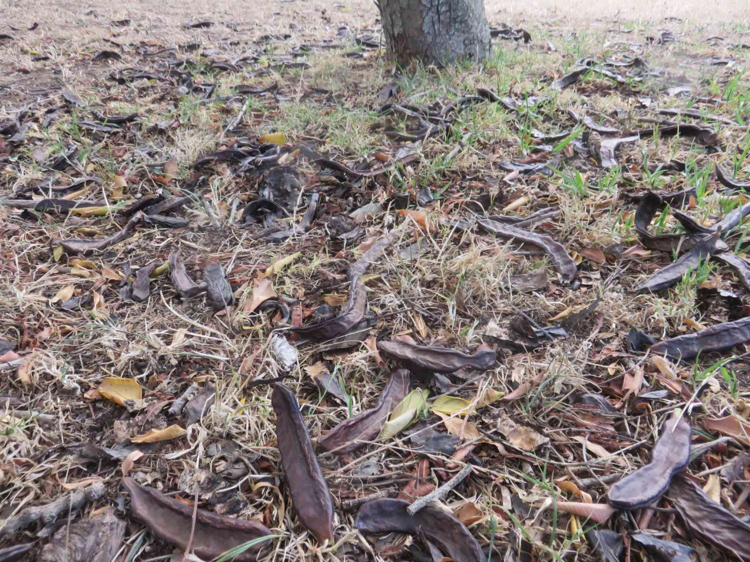 Pods on the ground under a female carob tree, which bore three times this amount.
