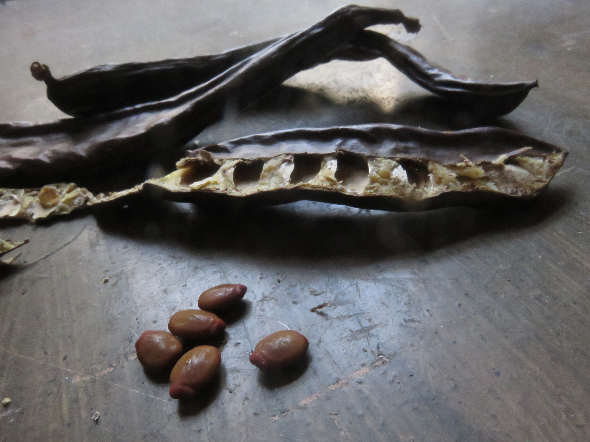 Carob seeds are delicious and the plants trees are really easy to grow in our climate.