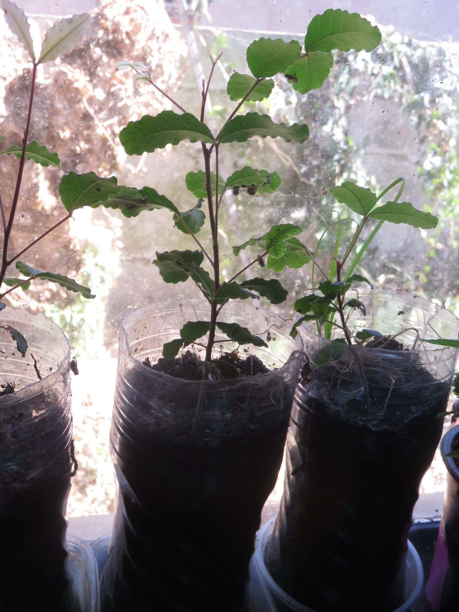 Seedlings about 30cm high at 8 months