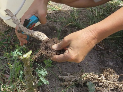 To chop and drop, cut old plants off just below the ground, or uproot, cut small and drop where plant grew