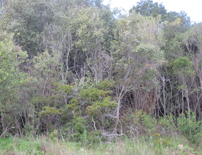 a dense recovering forest along the Kirstenbosch drive