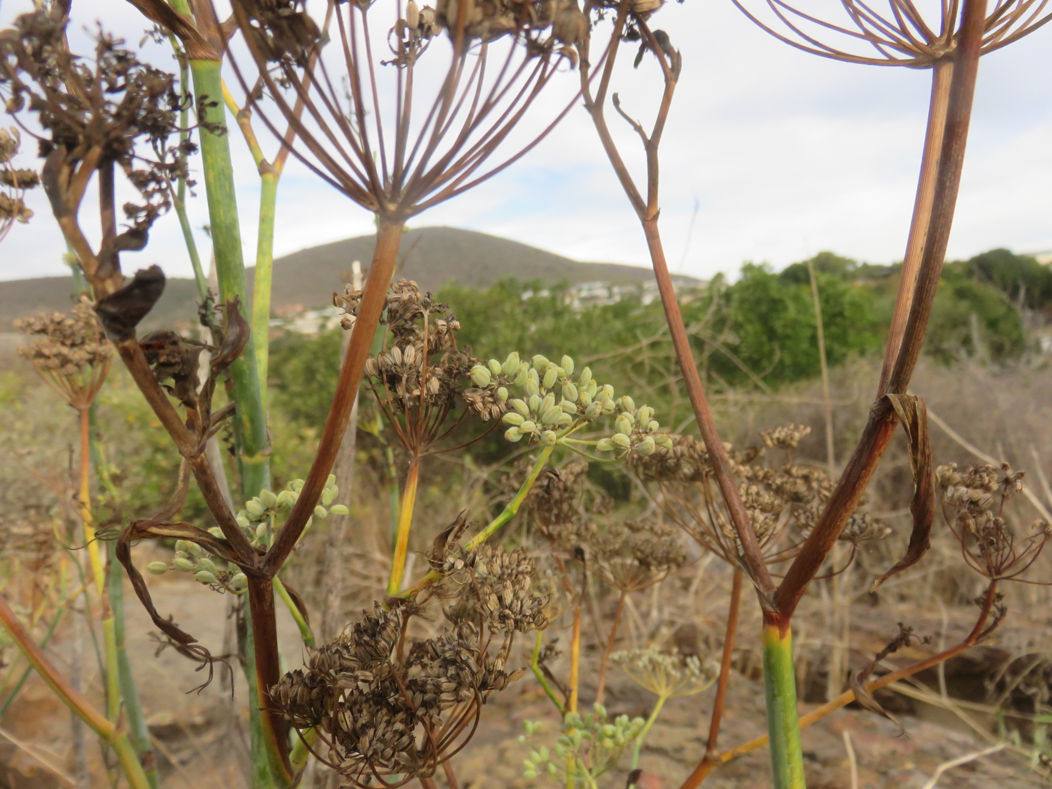 Growing fennel is made easy by the selection of wild seed from tough plants