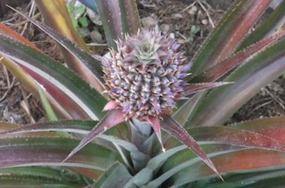 growing pineapples: the easiest fruit to grow. A pineapple in flower