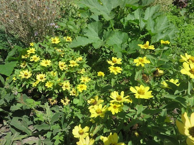 edible flowers, pest repellent, medicine and bee's delight