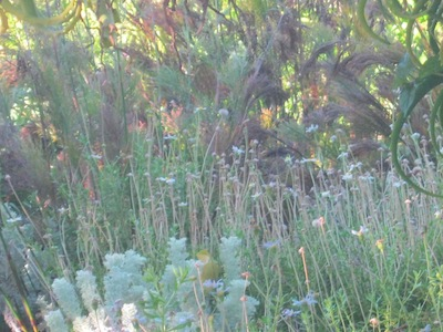 multi-tiered feathery Fynbos planting at Kirstenbosch