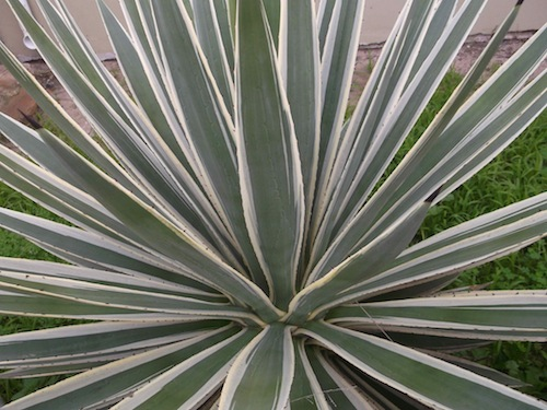 the first staple of Mayan agriculture, the Agave
