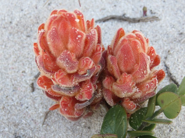 This beautiful plant is a root parasite and an integral part of the dune ecosystem