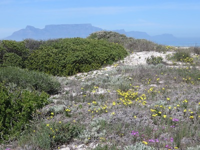 a snapshot of the ancient natural coastal vegetation, with groundcovers, succulents, legumes, flowers, grasses, and low bushes.