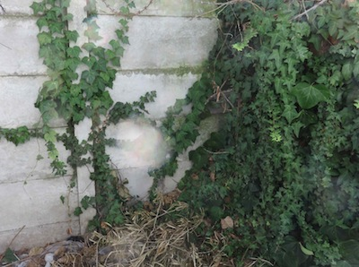 ivy can grow straight up a concrete garden fence without support