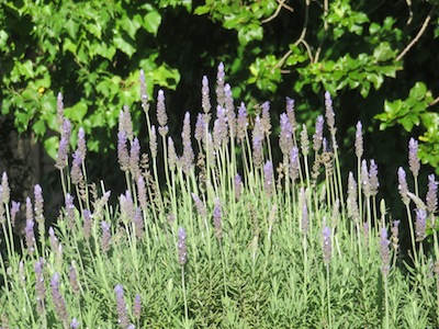 lavender a classic in herb garden design can serve as a  hedge