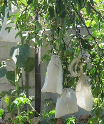 a number of green pears after bagging
