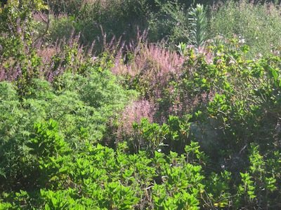 a stand of our local winter rainfall summer drought herbs