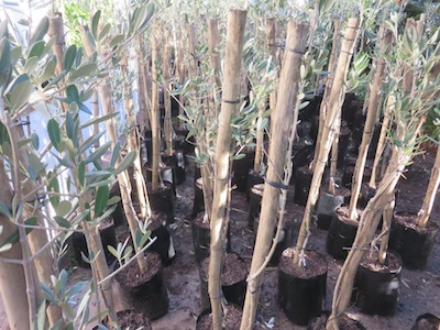 Mission olive saplings awaiting fulfillment