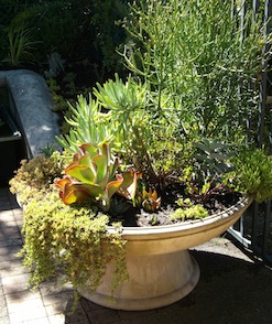 A container garden of mixed succulents in a single beautiful pot outside the kirstenbosch nursery.
