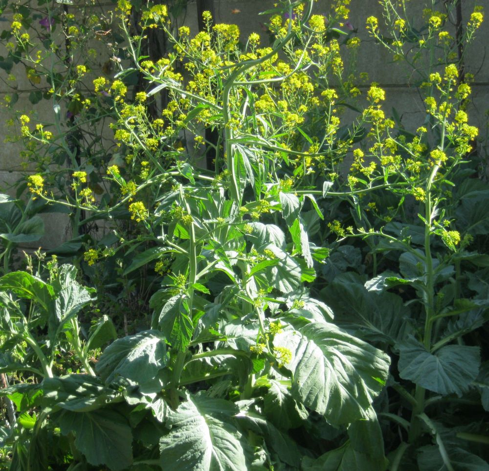 Mustard has a biblical reputation, and its also an easy green vegetable, a spice and a soil improver.