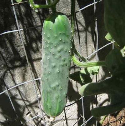 The cucumber out of the bag, healthy with no fruit fly