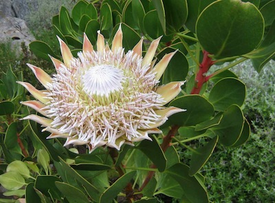 The Botanical Garden, Kirstenbosch is a natural garden design schoolroom