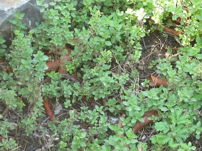 oregano lasts and lasts with a yearly compost dressing
